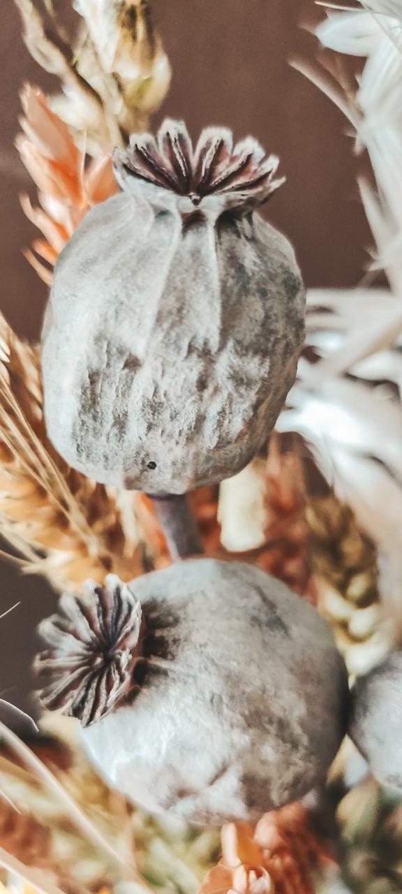 Closeup Gedroogde Papaver - Bries aan Zee