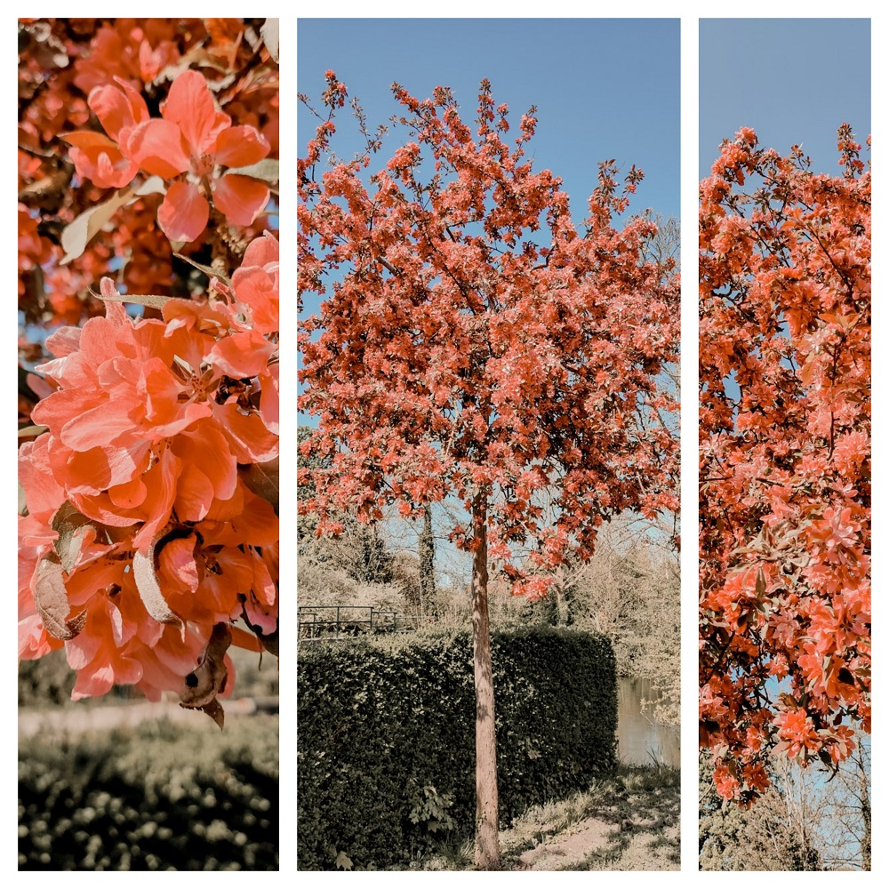 Collage prunus