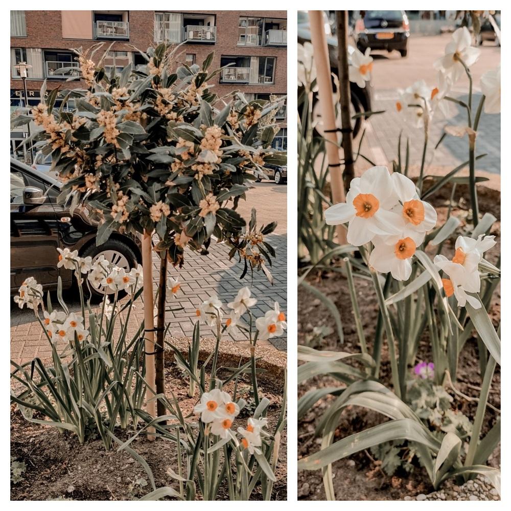 Heester en Narcissen