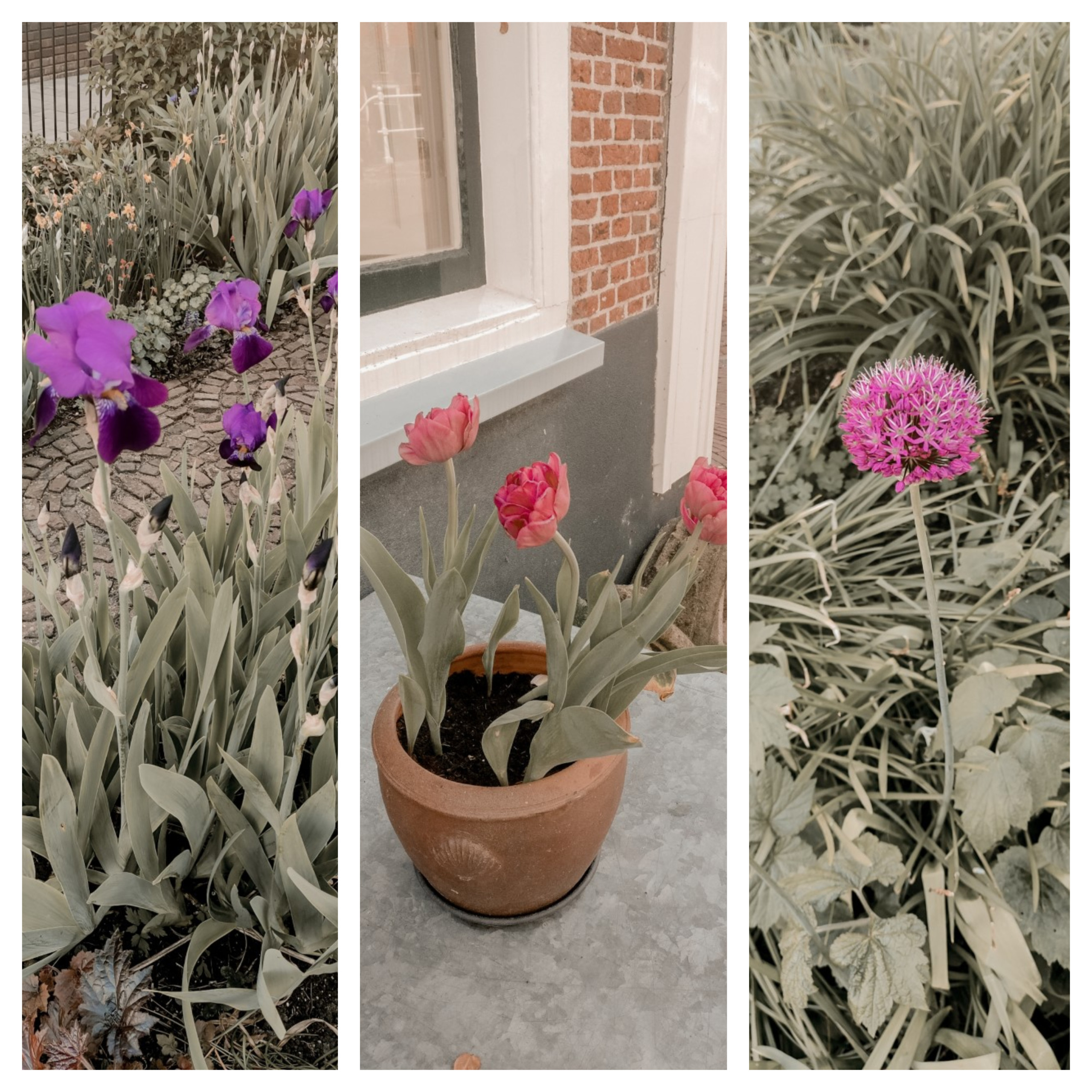 Irissen, Tulpen en Allium bloem